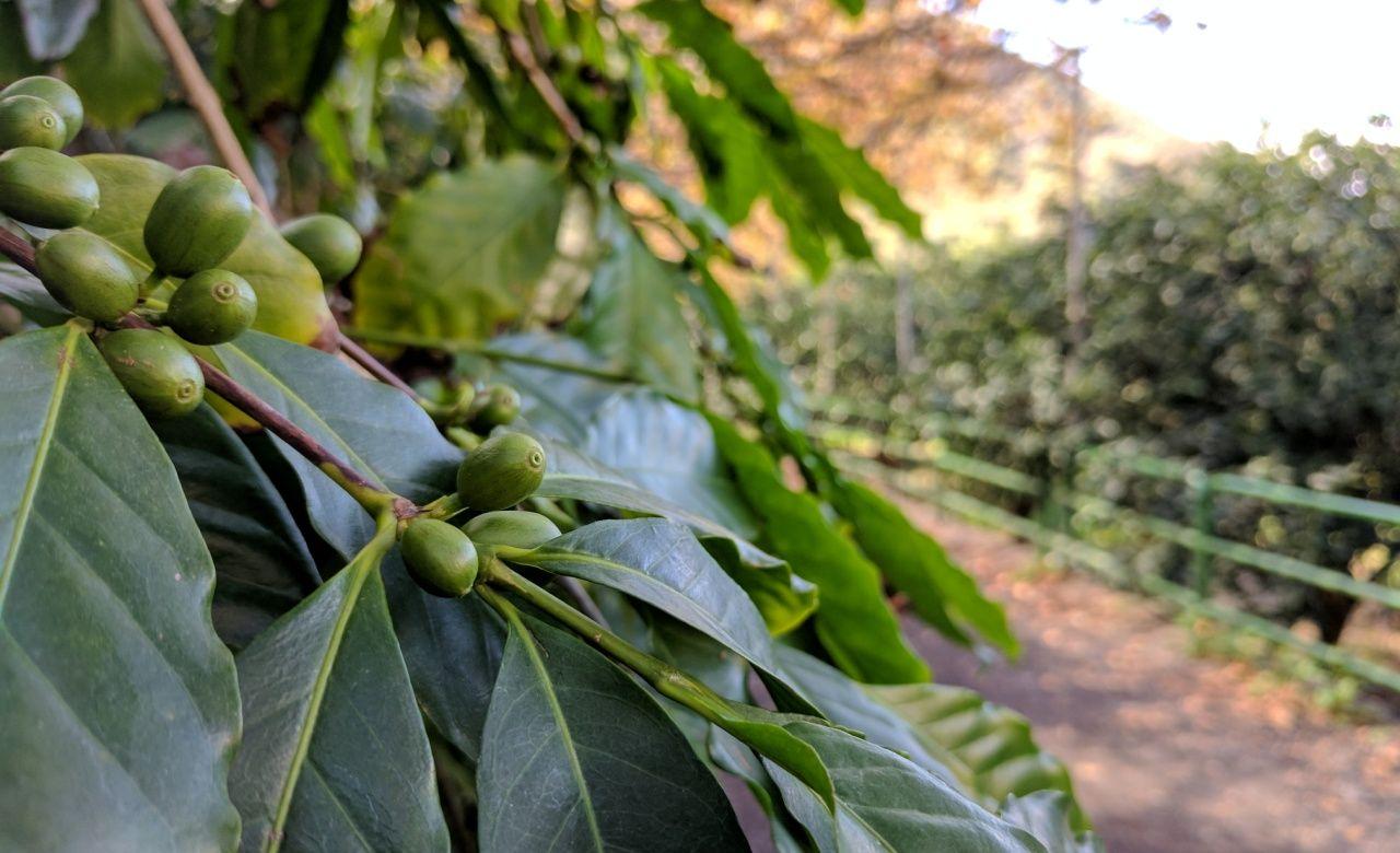 Coffee from Gran Canaria